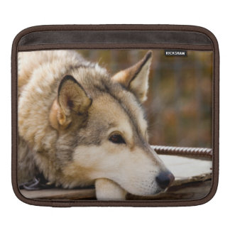 N.A., USA, Alaska. Husky sled dogs at 3 iPad Sleeve