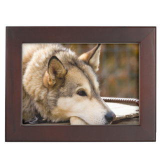 N.A., USA, Alaska. Husky sled dogs at 3 Keepsake Box