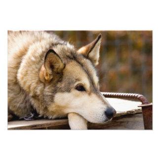 N.A., USA, Alaska. Husky sled dogs at 3 Photo Print