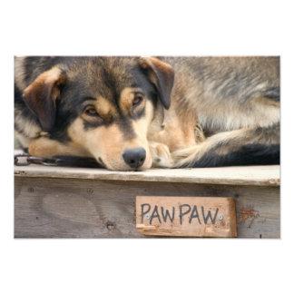 N.A., USA, Alaska. Husky sled dogs at Photographic Print