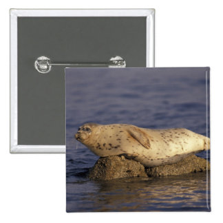 N.A., USA, California, Monterey.  Harbor Seal 15 Cm Square Badge