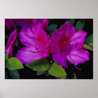 N.A. USA, Georgia, Savannah. Azalea in bloom. Poster