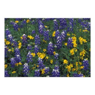 N.A, USA, Texas, Marble Falls, Blue Bonnets Photograph