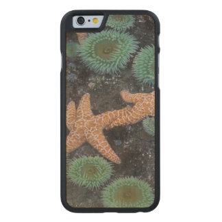 N.A., USA, Washington, Olympic National Park, 2 Carved Maple iPhone 6 Case