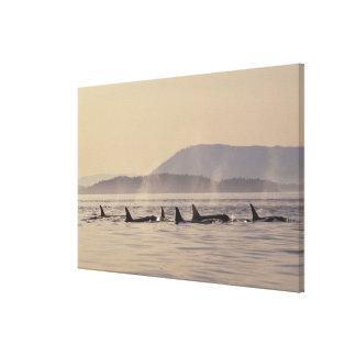 N.A., USA, Washington, San Juan Islands Orca Canvas Print