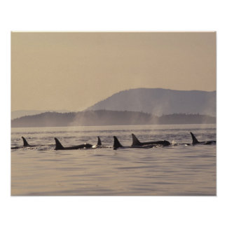 N.A., USA, Washington, San Juan Islands Orca Poster