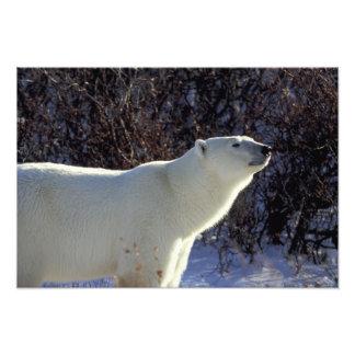 NA, Canada, Manitoba, Churchill. A polar bear Photo Print