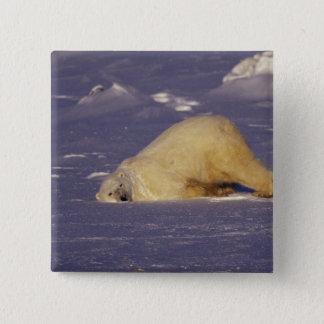 NA, Canada, Manitoba, Churchill, Polar bear 15 Cm Square Badge