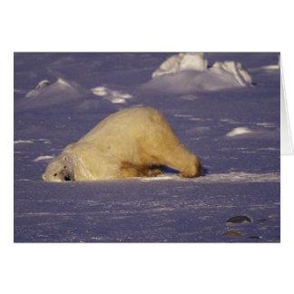 NA, Canada, Manitoba, Churchill, Polar bear Card