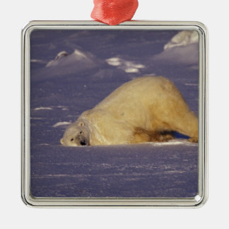 NA, Canada, Manitoba, Churchill, Polar bear Christmas Ornament