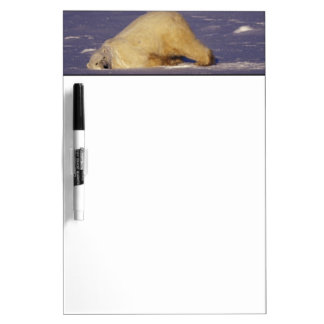 NA, Canada, Manitoba, Churchill, Polar bear Dry Erase Whiteboard