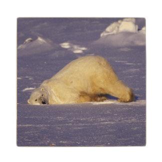 NA, Canada, Manitoba, Churchill, Polar bear Wood Coaster
