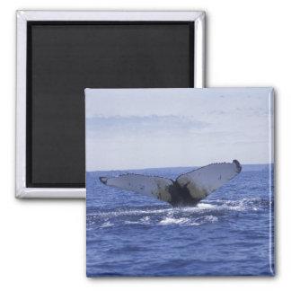 NA, Canada, Newfoundland, Trinity Bay. Humpback Magnet
