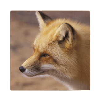 NA, Canada. Red Fox Wood Coaster