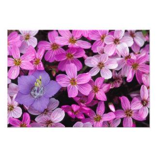 NA, USA, Alaska, Aleutian Islands, Wildflowers Photo Print