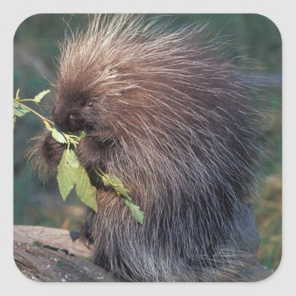 NA, USA, Alaska, Captive porcupine Square Sticker