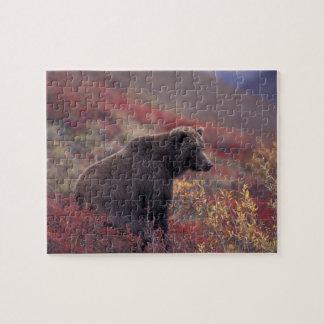 NA, USA, Alaska, Denali NP. A female grizzly Jigsaw Puzzle