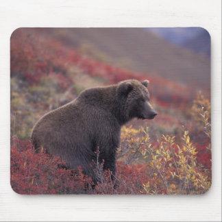 NA, USA, Alaska, Denali NP. A female grizzly Mouse Pad