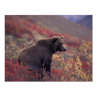 NA, USA, Alaska, Denali NP. A female grizzly Postcard