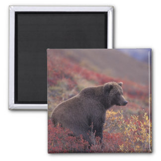 NA, USA, Alaska, Denali NP. A female grizzly Square Magnet
