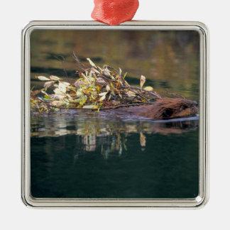 NA, USA, Alaska, Denali NP, Beaver collecting Christmas Ornament