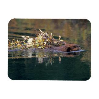 NA, USA, Alaska, Denali NP, Beaver collecting Rectangular Photo Magnet