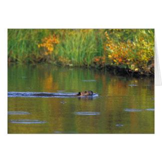 NA, USA, Alaska, Denali NP, Beaver in fall Card
