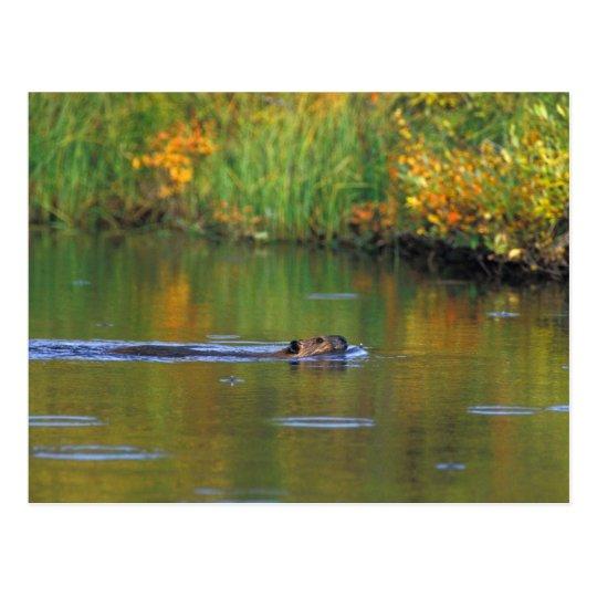 NA, USA, Alaska, Denali NP, Beaver in fall Postcard