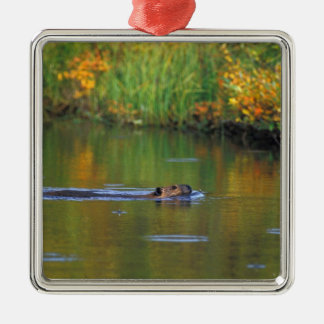 NA, USA, Alaska, Denali NP, Beaver in fall Silver-Colored Square Decoration