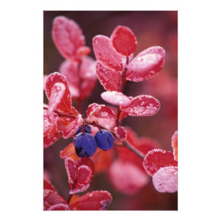 NA, USA, Alaska, Denali NP, Blue berries in Photo Print