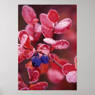 NA, USA, Alaska, Denali NP, Blue berries in Poster