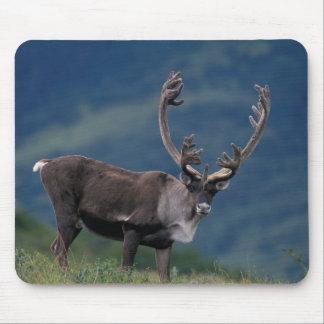 NA, USA, Alaska, Denali NP, Bull caribou 2 Mouse Mat