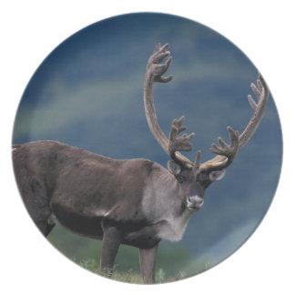 NA, USA, Alaska, Denali NP, Bull caribou 2 Party Plates