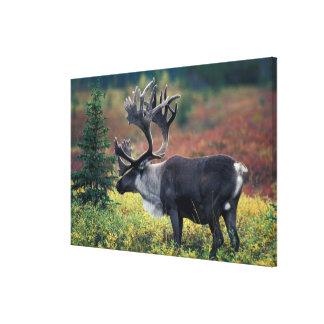 NA, USA, Alaska, Denali NP, Bull caribou 3 Canvas Print