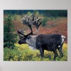 NA, USA, Alaska, Denali NP, Bull caribou 3 Poster