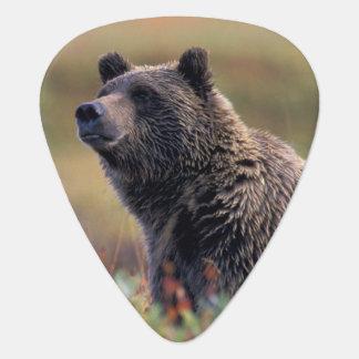 NA, USA, Alaska, Denali NP, Grizzly bear Guitar Pick