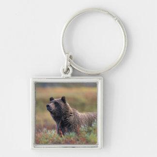 NA, USA, Alaska, Denali NP, Grizzly bear Key Chains