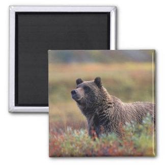 NA, USA, Alaska, Denali NP, Grizzly bear Fridge Magnet