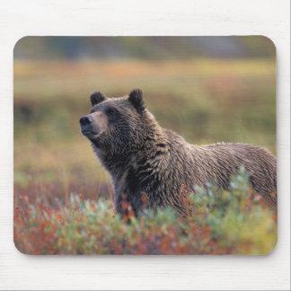 NA, USA, Alaska, Denali NP, Grizzly bear Mousepad