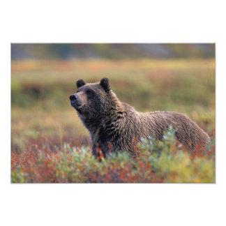 NA, USA, Alaska, Denali NP, Grizzly bear Photo Print