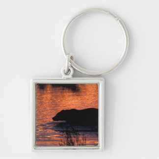 NA, USA, Alaska, Grizzly bear Silver-Colored Square Key Ring