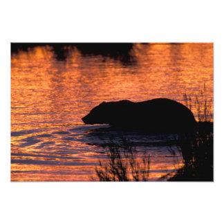 NA, USA, Alaska, Grizzly bear Photo Print