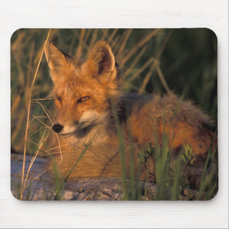 NA, USA, Alaska, Katmai NP, Vulpes vulpes red Mouse Mat