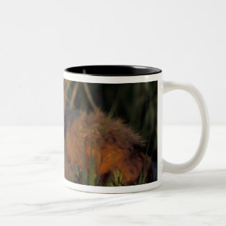NA, USA, Alaska, Katmai NP, Vulpes vulpes red Two-Tone Coffee Mug
