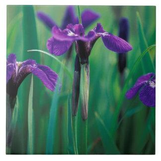 NA, USA, Alaska, Knight Island, Wild iris Large Square Tile
