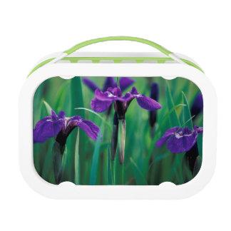 NA, USA, Alaska, Knight Island, Wild iris Lunch Box