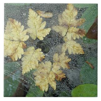 NA, USA, Alaska, Nancy Lake. Dew on spiderweb Tile