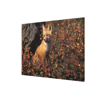 NA, USA, Alaska, red fox, Vulpes vulpes, in fall 2 Canvas Prints
