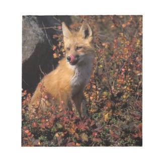 NA, USA, Alaska, red fox, Vulpes vulpes, in fall 2 Notepad
