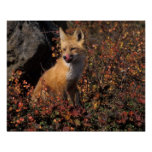 NA, USA, Alaska, red fox, Vulpes vulpes, in fall 2 Poster